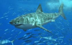 Tiger Shark Wallpaper 2650 Desktop Widescreen