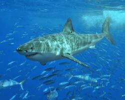 ... A tiger shark swims in the · By the time you read this, ...