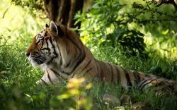 TIGER SIT IN MEADOW