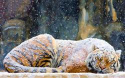 Tiger snowing art