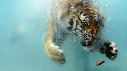 1920x1080 Wallpaper tiger, underwater, hunting, teeth, aggression, predator