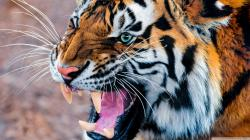 ... tiger-wallpapers-hd