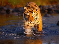 Great hd picture with a golden brown tiger walking throught the water.