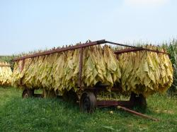 We do plan to sun dry the tobacco leaves as much as possible. This is faster and produces tobacco with much lower nicotine levels and less ammonia.