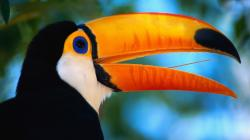 Preview wallpaper toucan, beak, bird, exotic 1920x1080