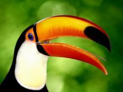 Toucan Birds Toucan