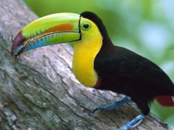 ... Wallpaper HD Animal Toucan