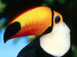 Toco toucan colourful beak tropical bird 1600x1200
