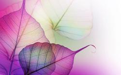 Transparent mauve leave veins