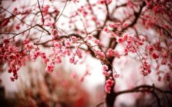 Tree Blossoms Spring