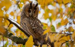 Tree Branch Leaves Yellow Autumn Owl Bird
