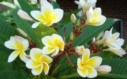 Beautiful Yellow White Tropical Flowers HD wallpapers