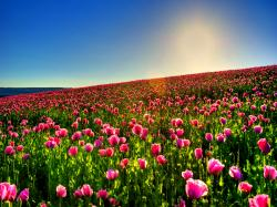 Lovely Tulip Field Wallpaper
