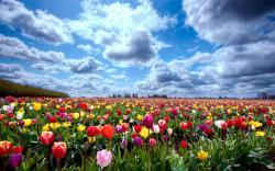 tulip fields tulips field flower flowers wallpaper background