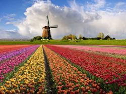 Tulip Fields 11 Wallpaper HD