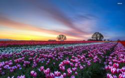 Tulip Fields 12 HD Wallpaper