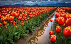 Tulip Fields 20 Desktop Background