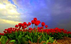 Tulip Fields Wallpaper