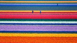 Amaizing Tulip Fields in the Netherlands
