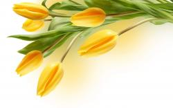 Flowers Yellow Tulip