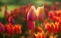 Red tulips summer