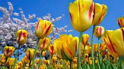 12 Lovely HD Tulips Wallpapers