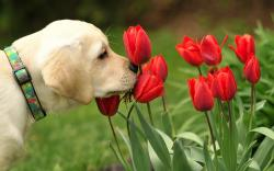 Dog and red tulips