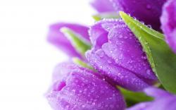 ... Purple Tulips Wallpapers8 ...