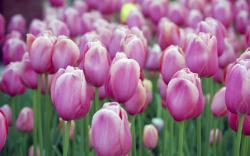 tulip-in-pink.jpg ...