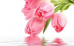 ... Pink Tulips ...