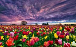 Summer Field Tulips Wallpaper Wallpapers