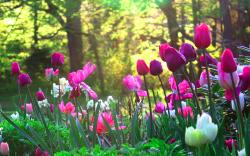 Tulips flower garden 1