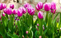 tulips purple stems leaves garden flowers spring wallpaper background