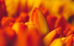 Tulips Orange Macro Flowers Buds