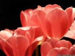 Wallpaper: Pink Tulips petals flowers