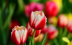 Tulips Red and White Leaves Flowers Spring