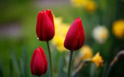 Tulips Red Drops Focus Nature Flowers Macro