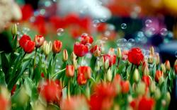 Tulips Soap Bubbles