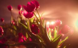 Tulips Sunshine
