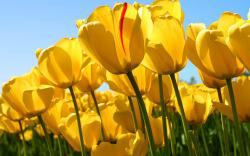 Yellow Tulips Field wallpaper