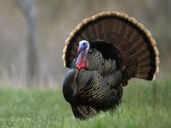 Wild Turkey HD Wallpapers Wild Turkey HD Wallpapers1 ...