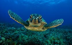 Black Turtle Wallpaper HD 13 For Desktop Background