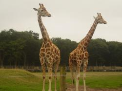 File:Two Rothschild giraffes at Woburn Safari Park.jpg