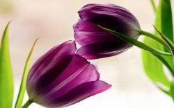Two Tulips Flowers
