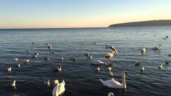 Swan & seagulls on black sea Varna Bulgaria part 2
