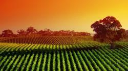 Landscapes nature fields sunlight vineyard wallpaper