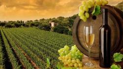 Vineyard (Toscana)