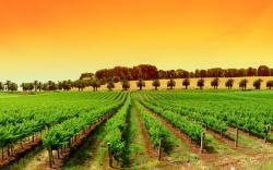 HD Wallpaper   Background ID:351926. 1920x1200 Man Made Vineyard