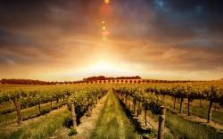 Beautiful Sunset On The Vineyard Wallpaper HD Wallpaper