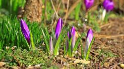 Wallpaper Tags: nice lovely spring violet crocus nature grass field pretty purple freshness fragrance scent greenery beautiful flowers colorful